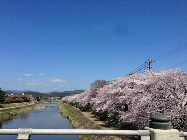 青空と桜と高野川